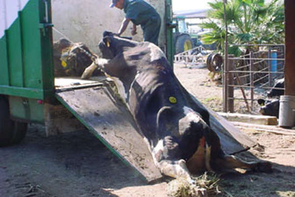 Too weak to move after years of over-milking, many cows are forcibly dragged onto slaughter trucks.