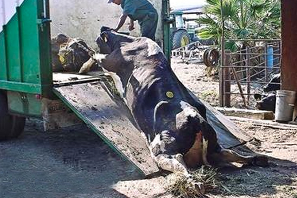 Starved and dehydrated, cows often need to be dragged onto trucks to the abattoir.