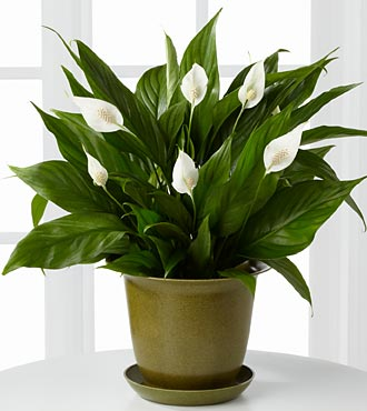 flowers-peace-lilies6 Popular Flowers To Brighten Your Office This Season