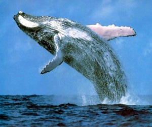 entertainment, free activities, family ,activities couple activities, activities for singles, things to do in winter, whales, whale watching, activities, hobbies, past times, free time, travel, Australian attractions, bucket list
