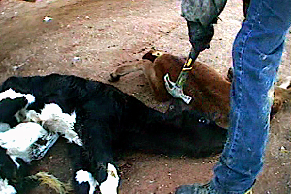In the interest of cost saving, sick or injured cattle often have their heads bashed in with a hammer.