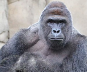 The Shooting Of Harambe The Gorilla Proves How Senseless Humans Are